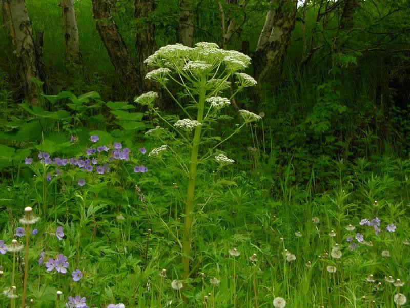 Kuray Çiçeği